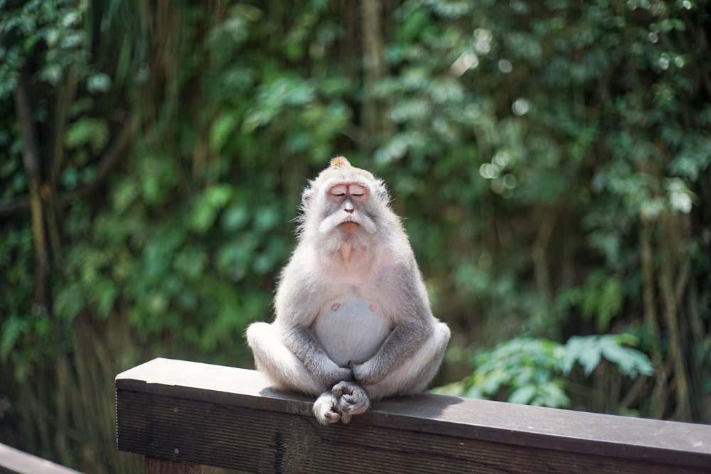 Majmun meditira